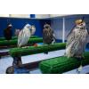 astroturf for birds of prey